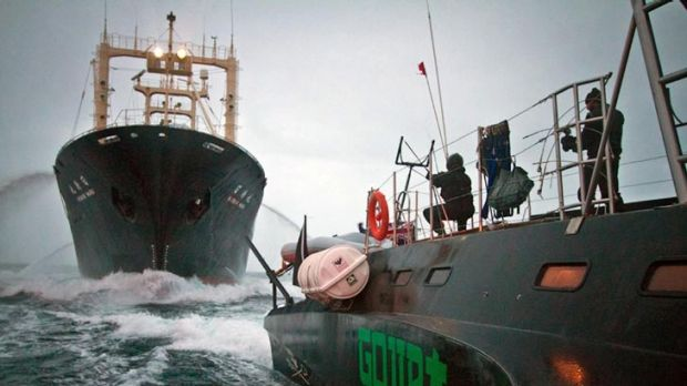 An activist aboard high-speed trimaran Gojira readies a slingshot towards Japanese whaling factory ship Nisshin Maru ...