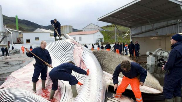 """""""Iceland's harvest of whales and export of fin whale meat threaten an endangered species"""" ... Gary Locke."""