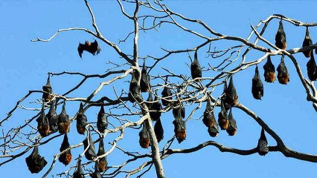 Biosecurity Queensland says the rate of Hendra virus infection in flying foxes has quadrupled.
