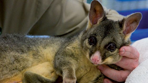 The wounded possum and her joey after the mother was stiched up by vets at the Currumbin Wildlife Hospital. Photo: ...