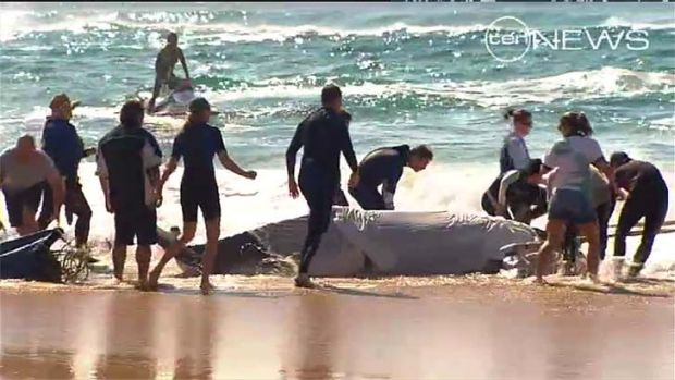 Rescuers help move the whale back into the water at Surfers Paradise.