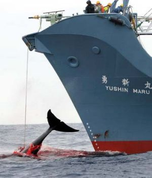 The recent earthquake may have delivered a knockout blow to Japan's whaling program.