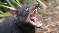 Tasmania Devil breeding programe at Australian Reptile Park, NSW. Photo shows, One of the yound devils at the Park. The ...