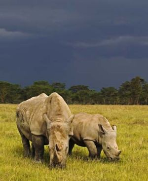 This adult white rhinoceros and her calf are two of only seven left in existence.