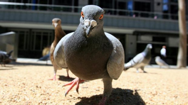 Virus risk ... The disease has killed a large number of pigeons in Victoria.