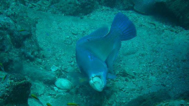 Tusk fish appearing to be smashing open cockle shells in the Great Barrier Reef.