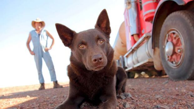 Star of the show ... Koko the kelpie plays the title role.