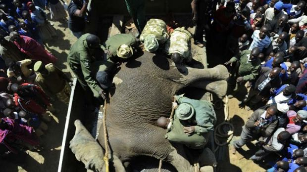 Let sleeping elephants lie ... a sedated elephant is loaded into a crate to be relocated to the Maasai Mara game reserve ...