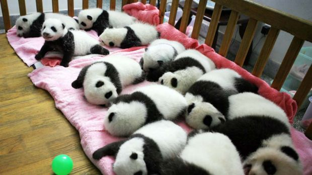 A group of giant panda cubs napping at a nursery  in the research base of the Giant Panda Breeding Centre in Chengdu, in ...