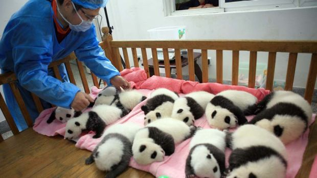 A keeper tucks in a group of giant panda cubs as they nap at a nursery in the research base of the Giant Panda Breeding ...
