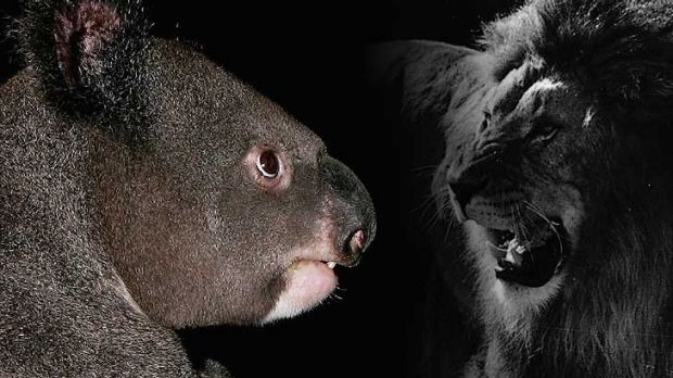 Jolly good bellows ... Koalas are loud, but lions have the edge.