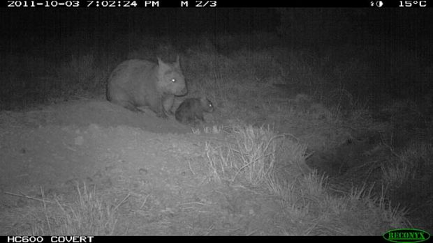 The hairy-nosed wombat joey takes some its first steps.