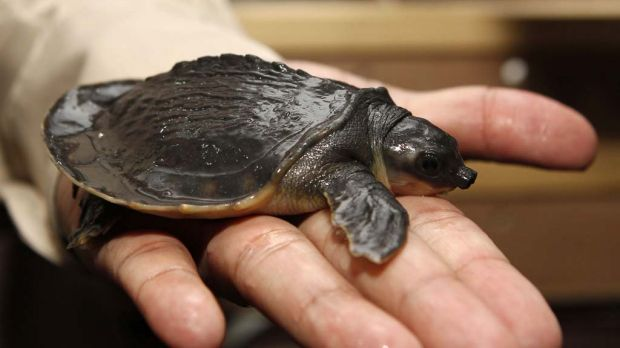 An Indonesian customs official holds a pig-nosed turtle at Jakarta airport.