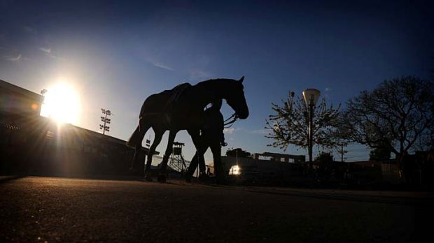 All class: Stable rider Louise Zuili takes Americain for a walk after a gallop at Moonee Valley yesterday.