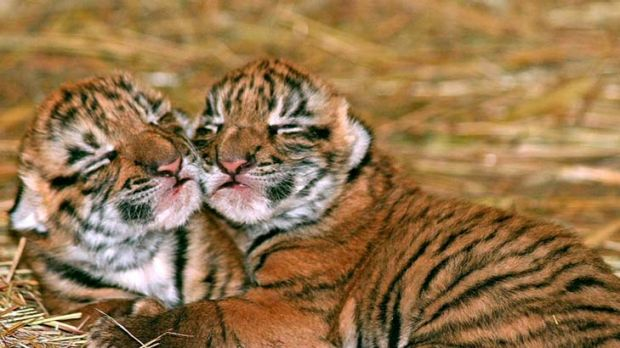 Next generation ... $30 million has been ploughed into helping secure the future of the endangered South China tiger.