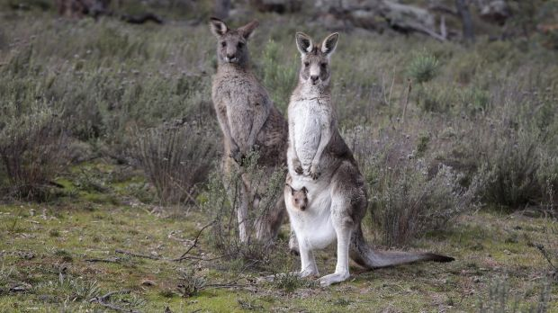Canberra's annual kangaroo cull had ended after 1700 animals were shot.