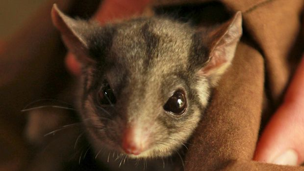 A national plan is trying to stop the decline in the number of Leadbeater's possums in the next 20 to 50 years.