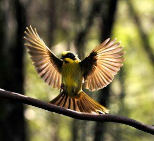 A Helemeted Honeyeater lands on a branch at the Yellingbo Nature Conservation Reserve.