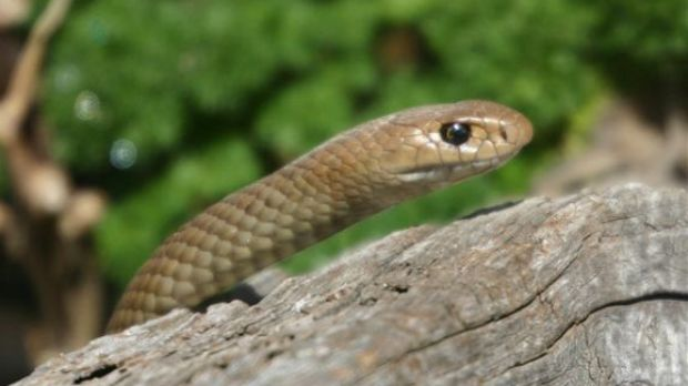 It's believed the snake was an eastern brown snake, similar to the one pictured.