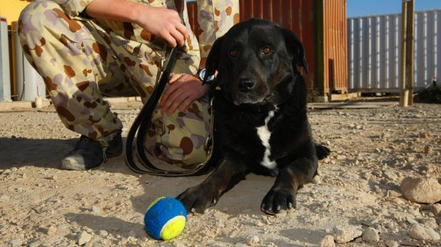 Sarbi at Australia's Tarin Kowt base in Afghanistan after 13 months missing in action.