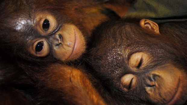 BHP says no orangutans have been found on its leases but environmental groups believe the project will destroy habitat ...