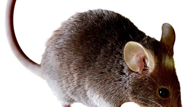 One breeding pair of mice could produce 500 mice within 21 weeks, according to the Grains Research and Decelopment ...