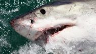 Diver fatally attacked by shark in WA (Video Thumbnail)
