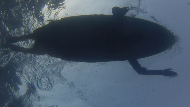 Mistaken identity? Researchers are testing the idea that sharks mistake surfers and swimmers for seals.