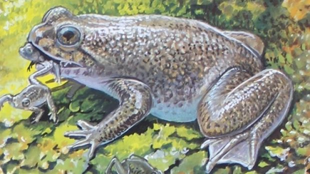 An artist's impression of the southern gastric brooding frog in its natural habitat