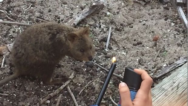 The quokka involved in the incident has been sighted walking around Rottnest with burnt fur on one side of its body.
