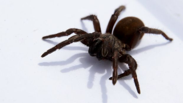 A Sydney baby has suffered a suspected funnel web spider bite.