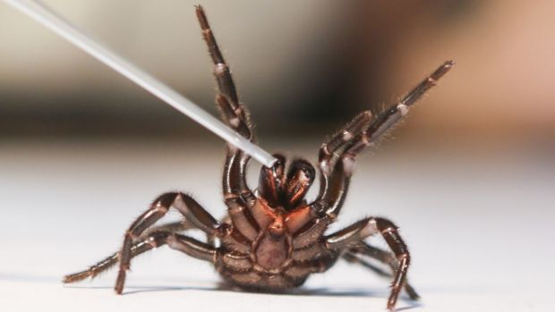 Funnel-web spiders have the potential to be crucial in the treatment of stroke patients.