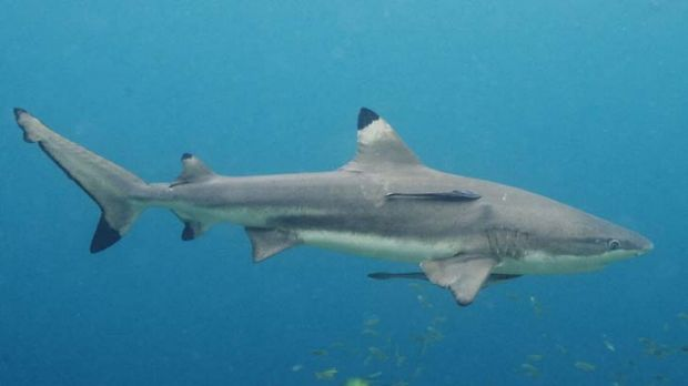 Doctors of the oceans ... sharks play a vital role in the health of our seas.