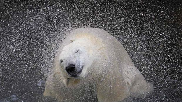 Drying off ... a polar bear shakes off water from its body at a zoo in Quebec, Canada.