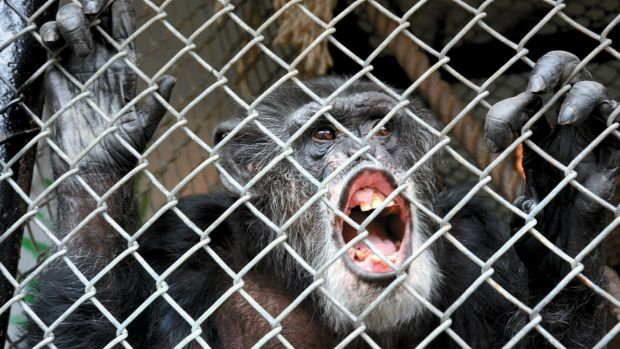 Former circus performer Tommy in a cage at a trailer lot in Gloversville, New York.