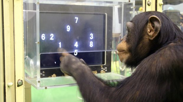 Intelligence: A chimpanzee named Ayumu performs a memory test with randomly placed numbers on a touchscreen computer in ...