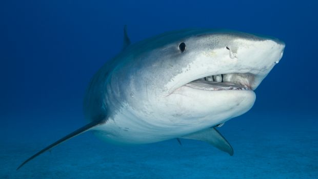 Research has revealed what really deters great white sharks.