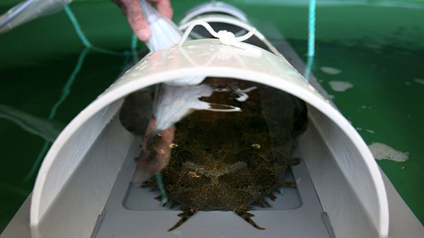 A wobbegong shark became trapped in the Binningup desalination on Monday. (File photo)
