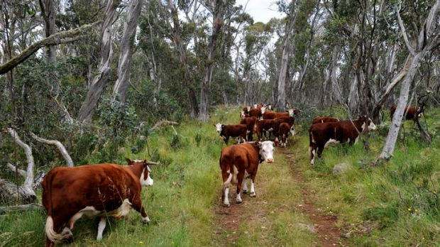 The federal government blocked a state trial of cattle grazing in the Victorian Alpine National Park.