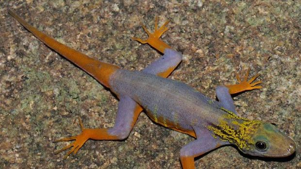A walking colour chart ... a psychedelic gecko, one of the many new species found in the Greater Mekong region that WWF ...
