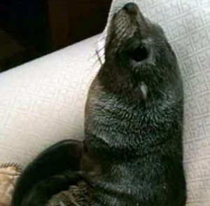 This seal made its way from the shore to a sofa in New Zealand.