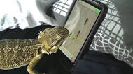 Lizard plays the smartphone game 'Ant Crusher'