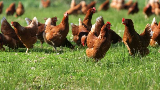 Producing free-range eggs increased carbon output by 20 per cent.