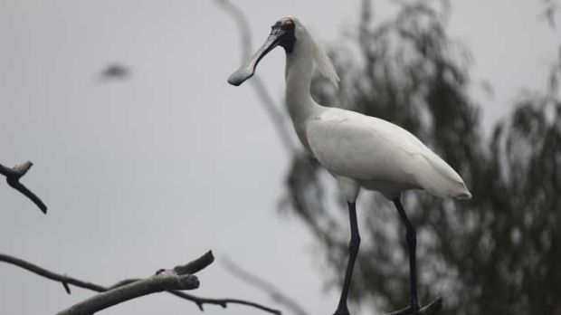 Waterbirds, including the spoonbill, on rise.