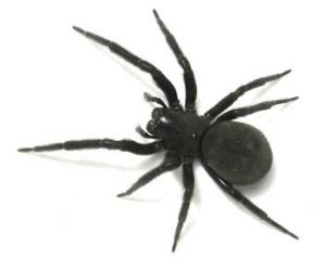 The black house spider