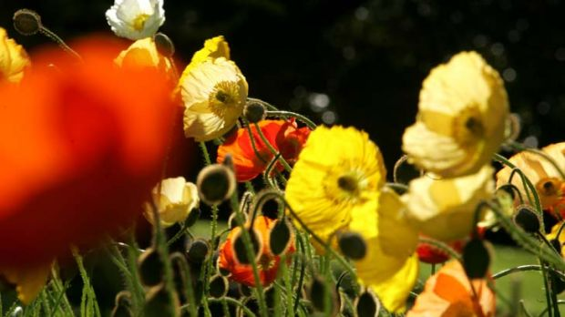 The culprits ... poppies on David Waite's farm, although tasty fodder for Emily's Dance, contained high amounts of ...