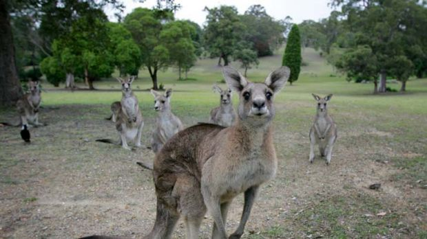 The licensing of 850 kangaroo shooters has sparked opposition.