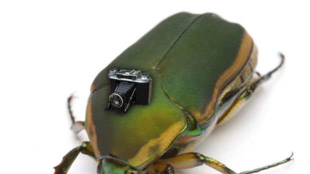 Picture this ... flying insects like the June beetle could be kitted out with cameras.