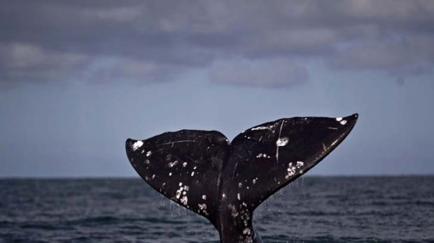 A contentious issue ... whaling.