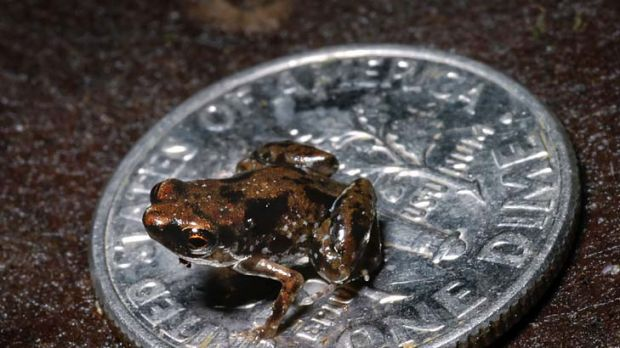 World's smallest frog ... the Paedophryne amauensis.